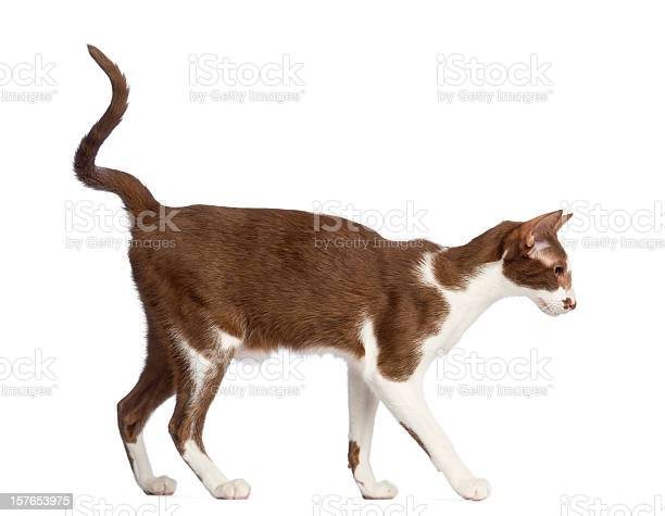 Side view of an oriental shorthair walking against white background picture id157653975?b=1&k=6&m=157653975&s=612x612&h=acg67nhpbkfgncyyy9ogkmgwnnclxig kvxyb1zpdkc=