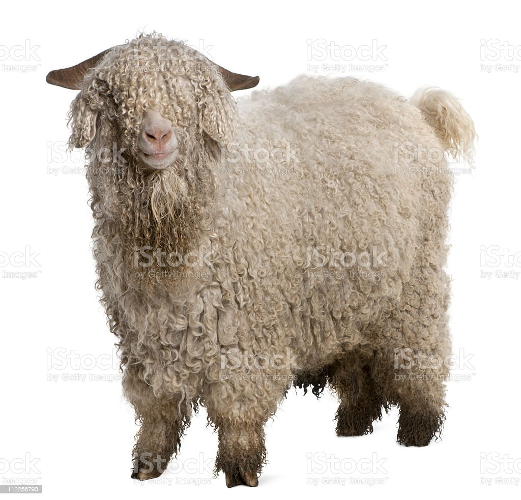 side view of Angora goat, standing, white background. stock photo