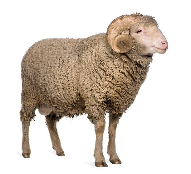 Side view of Arles Merino sheep, standing Arles Merino sheep, ram, 3 years old, standing in front of white background. merino sheep stock pictures, royalty-free photos & images