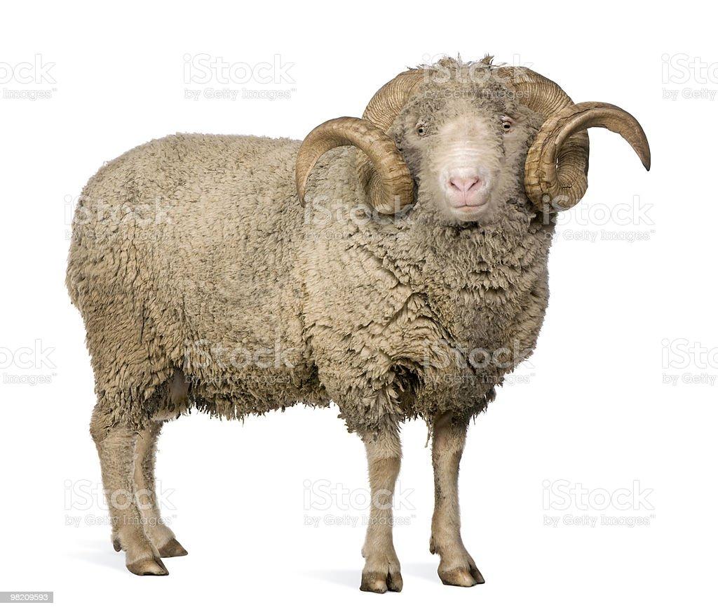 Side view of Arles Merino sheep, standing. royalty-free stock photo