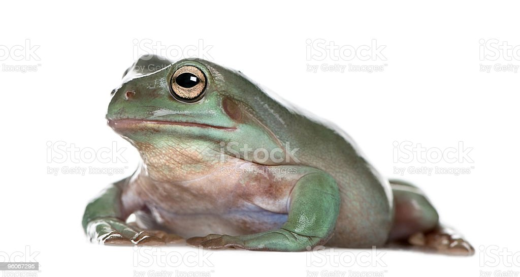 Side view of Australian Green Tree Frog against white background stock photo