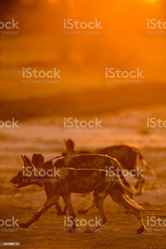 Side view of back-lit Wild Dog stock photo