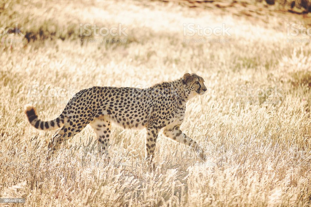Side View of beautiful Cheetah walking in golden grass at sunrise royalty-free stock photo