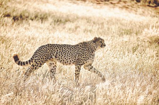 일출 황금 잔디에서 걷는 아름 다운 치타의 측면 보기 0명에 대한 스톡 사진 및 기타 이미지