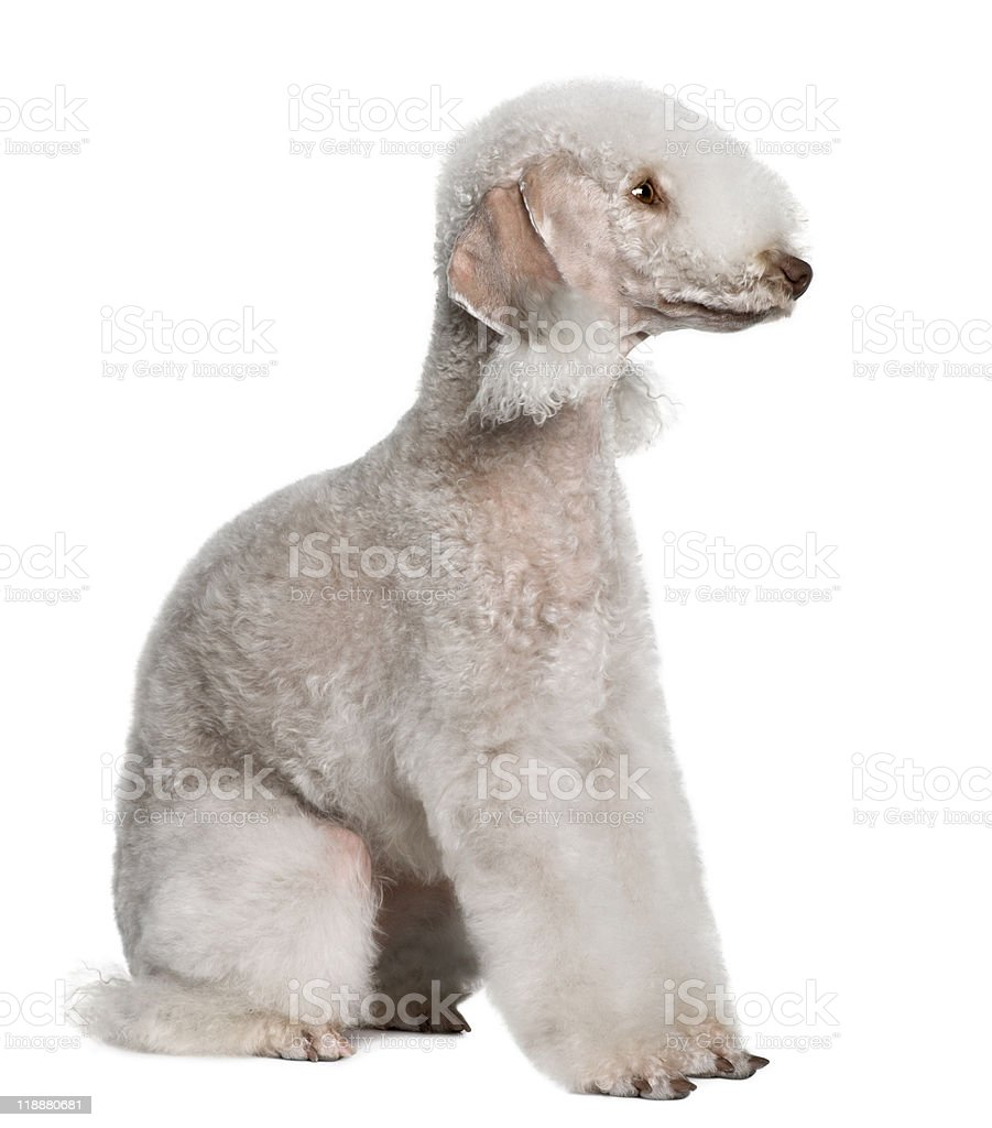 Side View Of Bedlington Terrier Looking Away Stock Photo ...