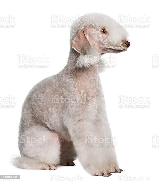Side view of bedlington terrier looking away picture id118880681?b=1&k=6&m=118880681&s=612x612&h=bqbxwywyqccthxwoivx jq 6uzolxqcisomwi1zgc4c=