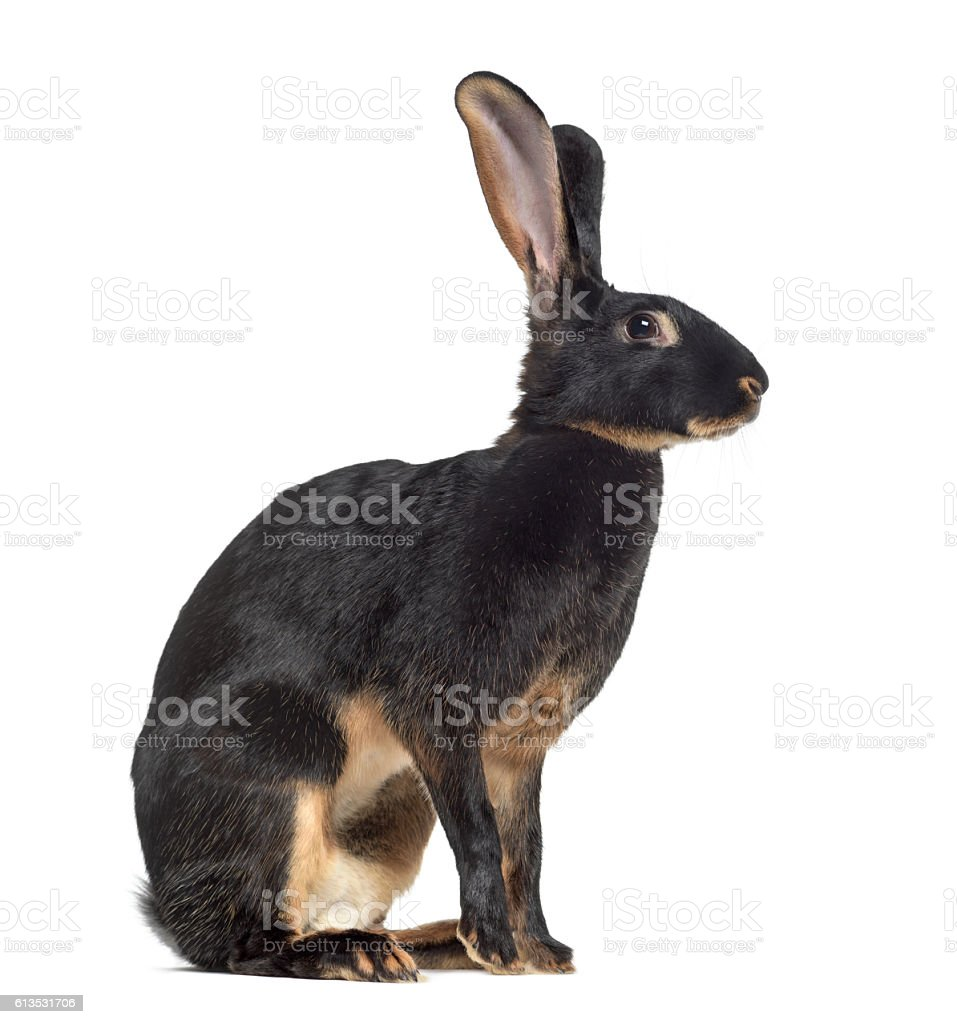 Side view of Belgian Hare isolated on white stock photo