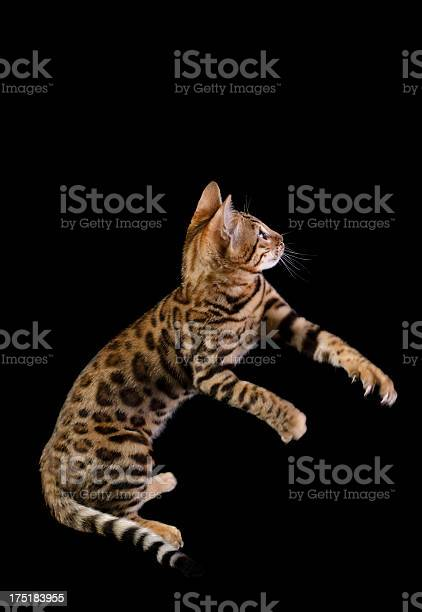 Side view of bengal kitten playing picture id175183955?b=1&k=6&m=175183955&s=612x612&h=itbcioulv4x 5p zhsb7jenjg8 hfoe6mwvjcls7ede=