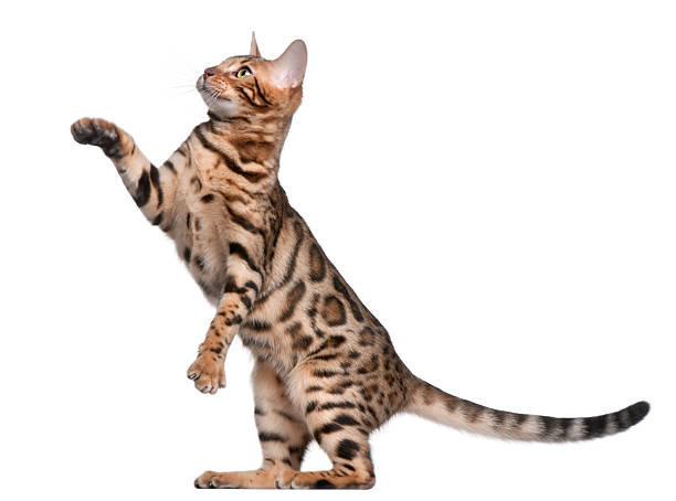Side view of bengal kitten with paw up white background picture id112793477?b=1&k=6&m=112793477&s=612x612&w=0&h=apbpg r9yywqv1jo awjenrchevi6 ififwpxnisnbo=