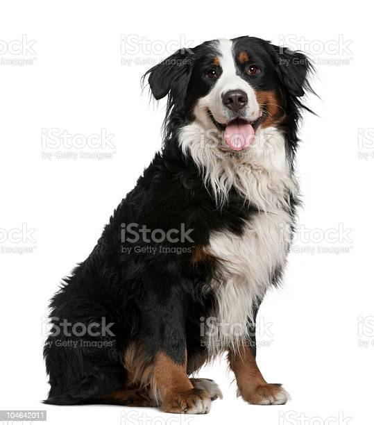Side view of bernese mountain dog sitting and panting picture id104642011?b=1&k=6&m=104642011&s=612x612&h=srz7uzwx1kasg69b9usngfimwwwn5zjrln6dg365ukk=