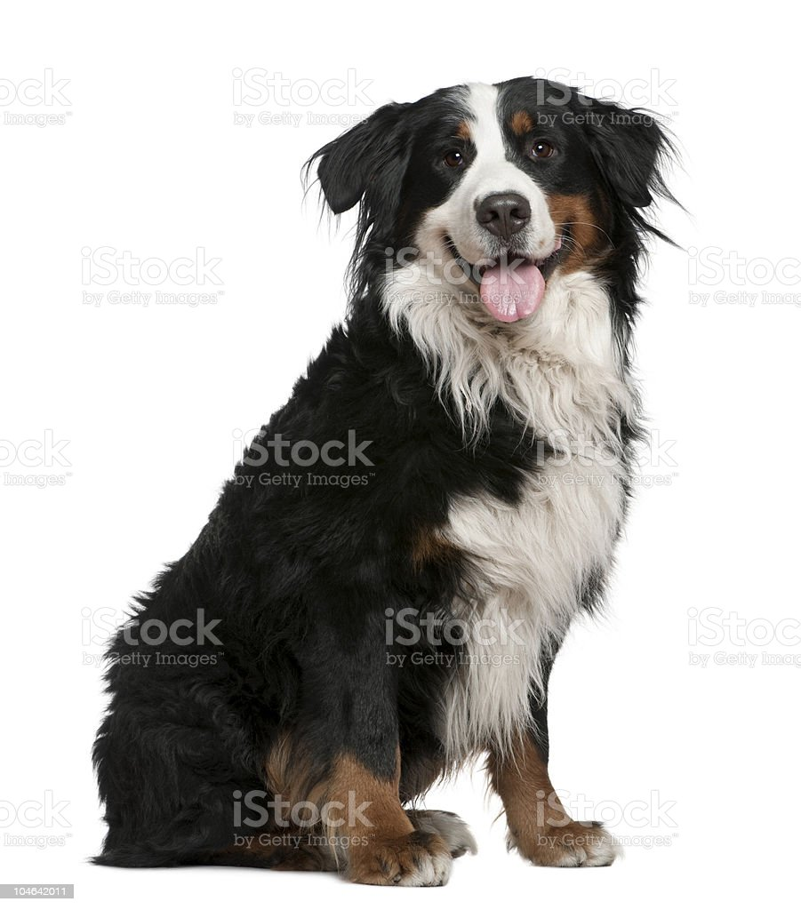 Side view of Bernese mountain dog, sitting and panting. stock photo