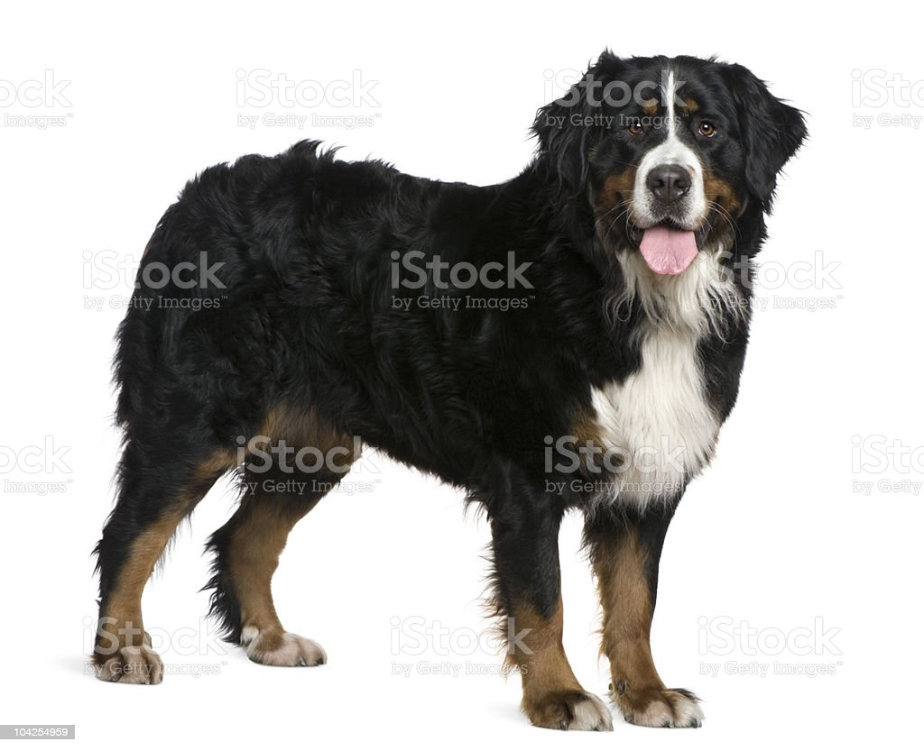 Side view of Bernese mountain dog, standing and panting. stock photo