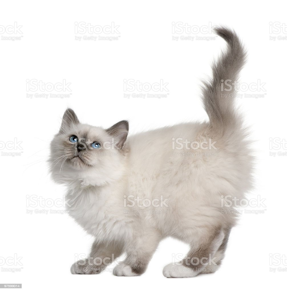 Side view of Birman kitten standing and looking up royalty-free stock photo