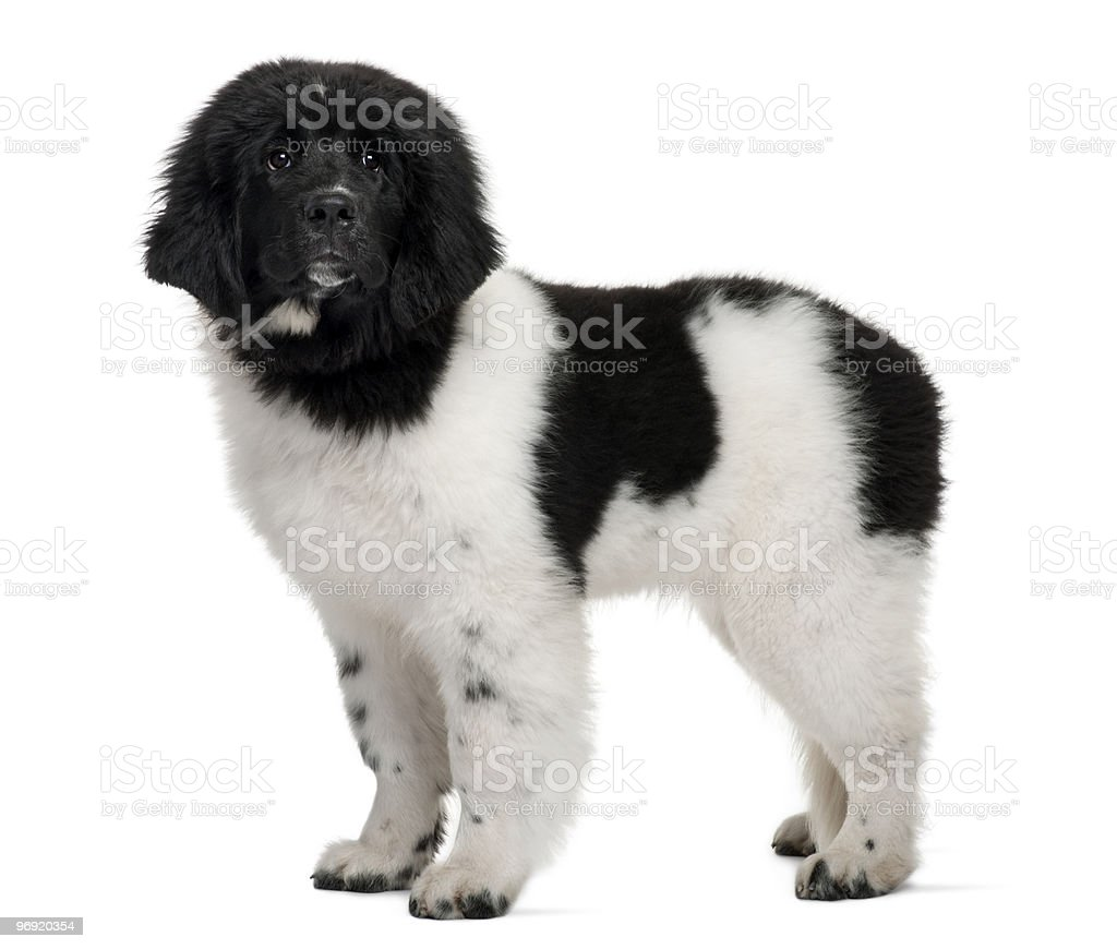 Side view of Black and white Newfoundland puppy standing royalty-free stock photo