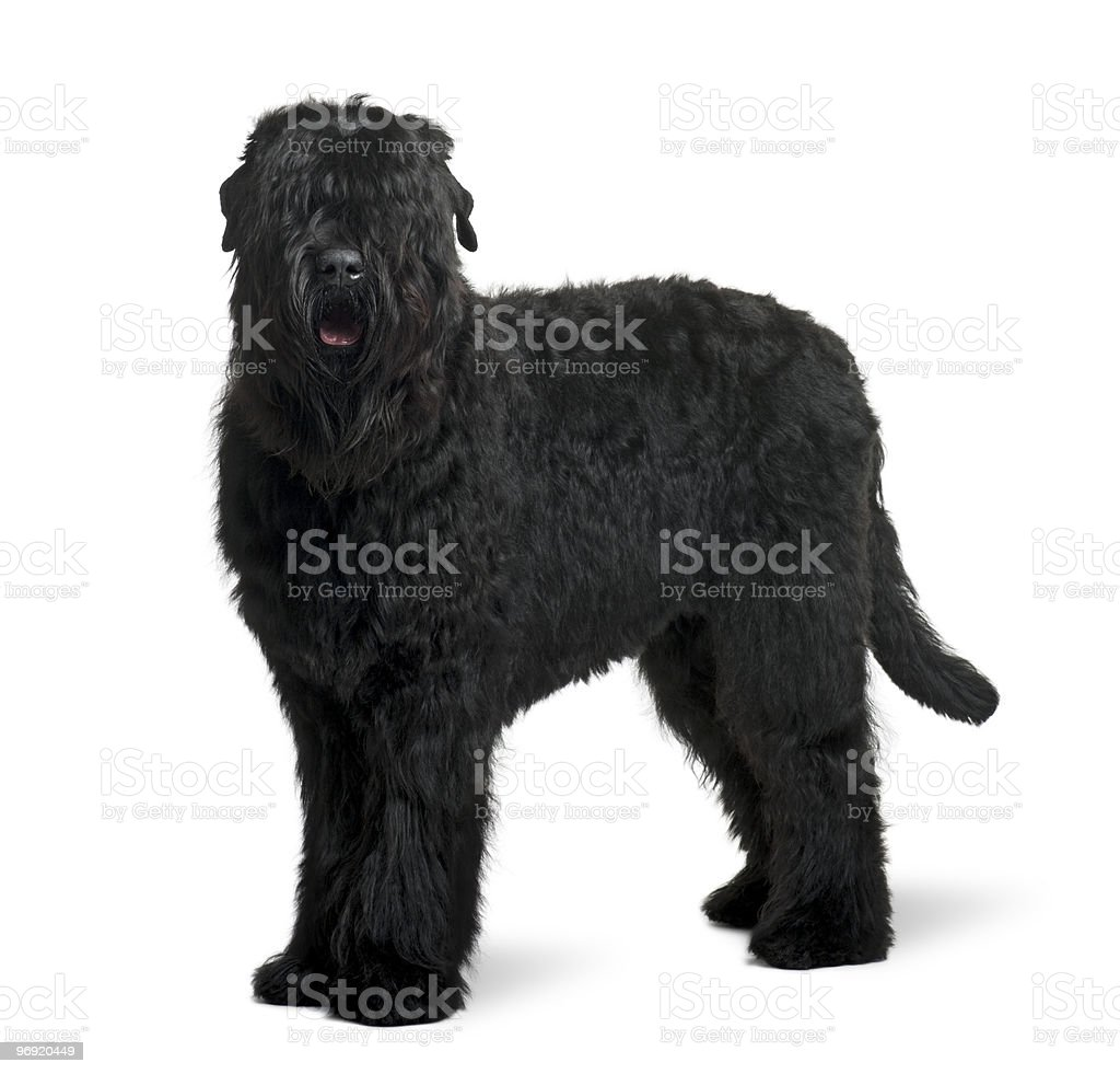 Side view of Black Russian Terrier standing royalty-free stock photo
