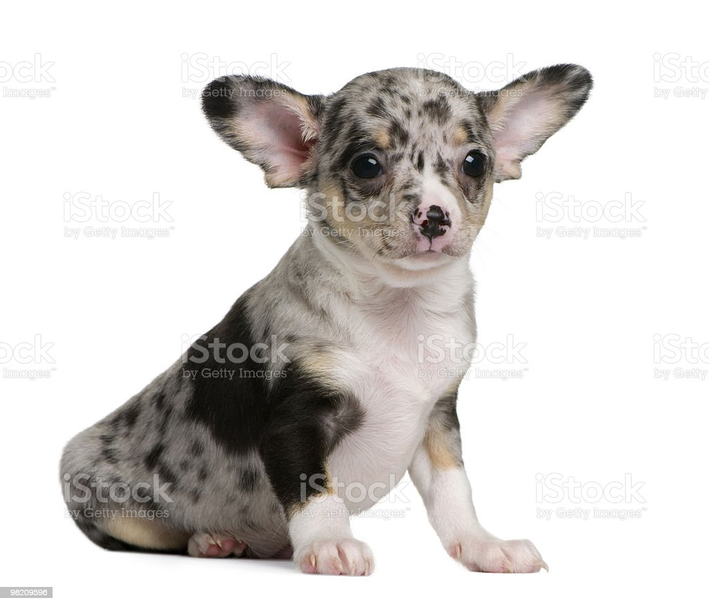 Side view of Blue merle Chihuahua Puppy, sitting royalty-free stock photo