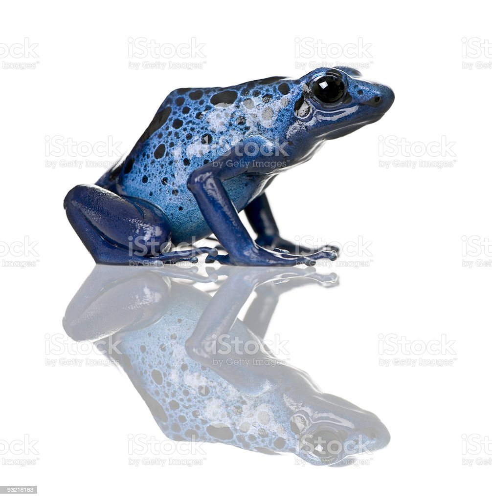 Side view of Blue Poison Dart frog royalty-free stock photo