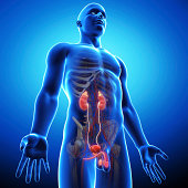 istock side view of blue urinary system 461866397