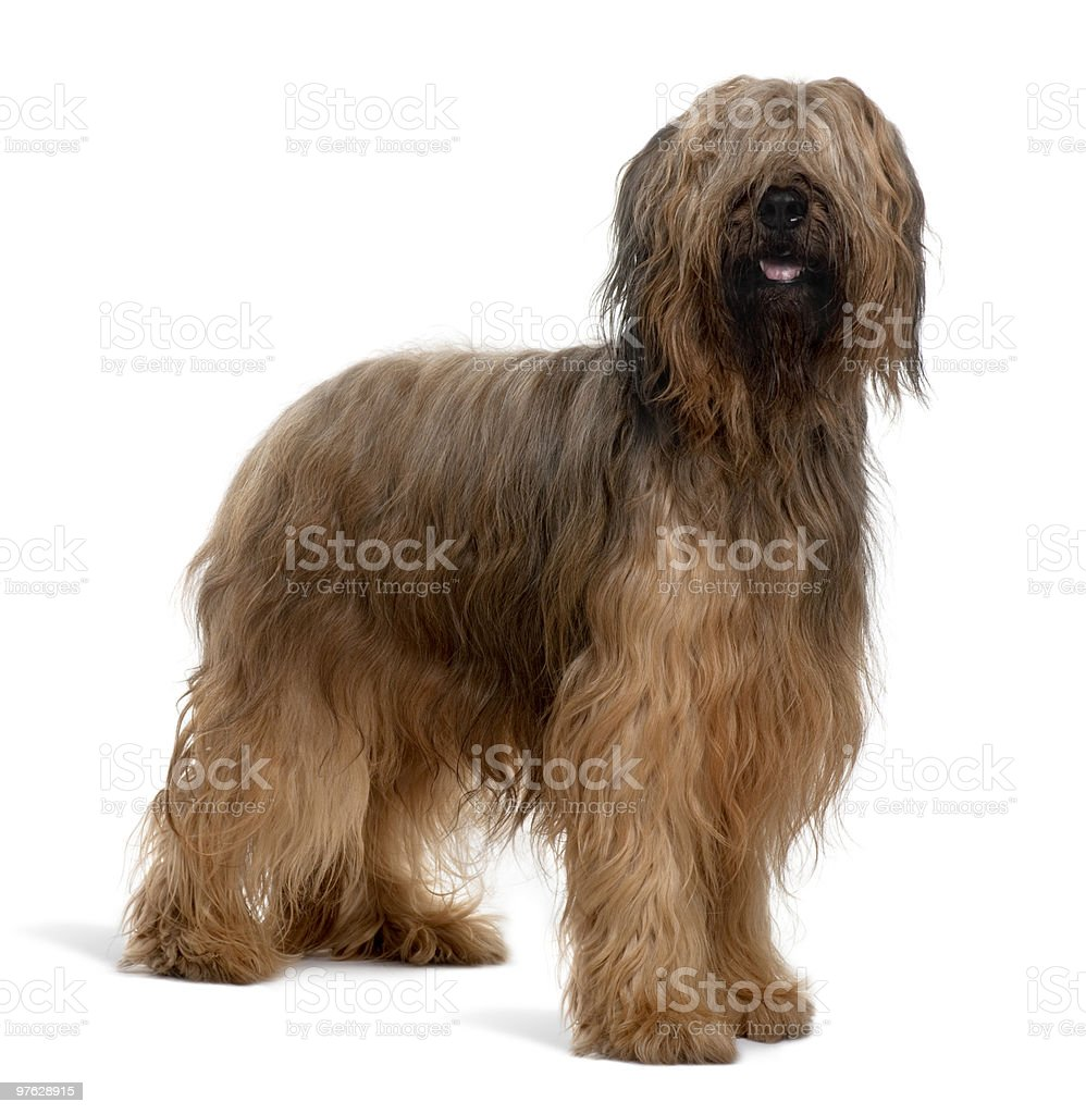 Side view of Briard dog standing and panting stock photo