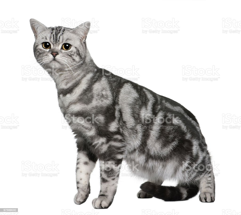 Side view of British Shorthair, standing and looking the camera royalty-free stock photo