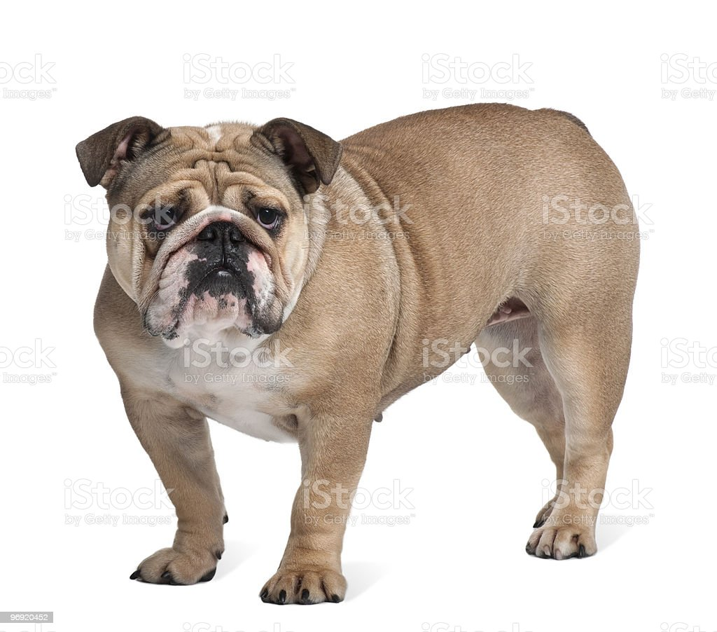 Side view of Bulldog standing and looking at the camera royalty-free stock photo