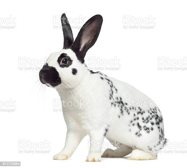 Side view of checkered rabbit isolated on white picture id612723064?b=1&k=6&m=612723064&s=612x612&h=vzpbjituetsn ai9mwa 5qjtbampxovmyxj7rn8wol4=