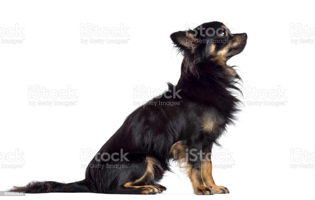 Side view of Chihuahua, 1.5 years old, sitting and looking up against white background stock photo
