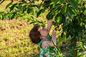 Side view of girl picking cheery from a cheery tree in an orchard