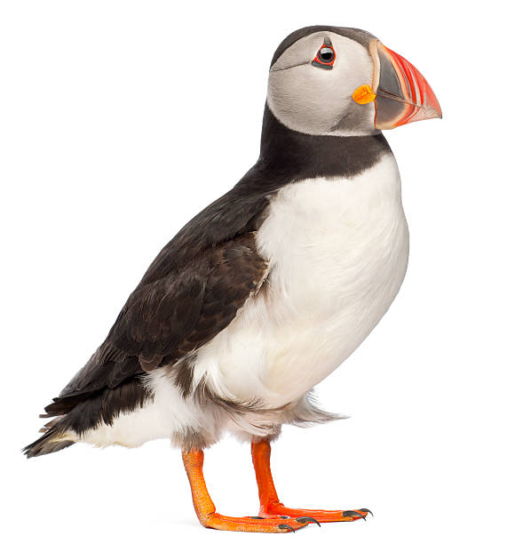 Side view of Common Puffin, Fratercula arctica, white background. Atlantic Puffin or Common Puffin, Fratercula arctica, in front of white background. auk stock pictures, royalty-free photos & images
