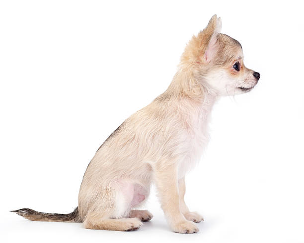 Side view of cute chihuahua puppy picture id119559615?b=1&k=6&m=119559615&s=612x612&w=0&h=xb2rvuyz2fhztjch8nxpgjvghqxgz9qx070kxc3ofya=