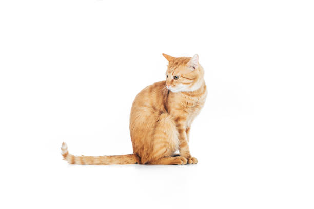 Side view of cute domestic ginger cat with long tail sitting isolated picture id1041127144?b=1&k=6&m=1041127144&s=612x612&w=0&h=x30n6xwuvefafr2akfuvdqsjbv xumhu429 3pudp9m=