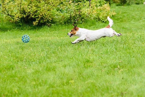 Side view of dog running and chasing a ball playing picture id540589676?b=1&k=6&m=540589676&s=612x612&w=0&h=kyyyt8pxjudgruzqhbk89bnxn5fnwvkjuni86zjcflm=