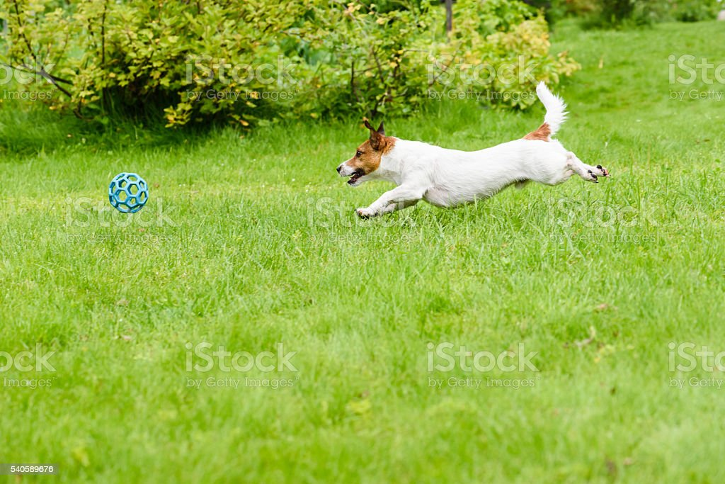 Side view of dog running and chasing a ball, playing stock photo