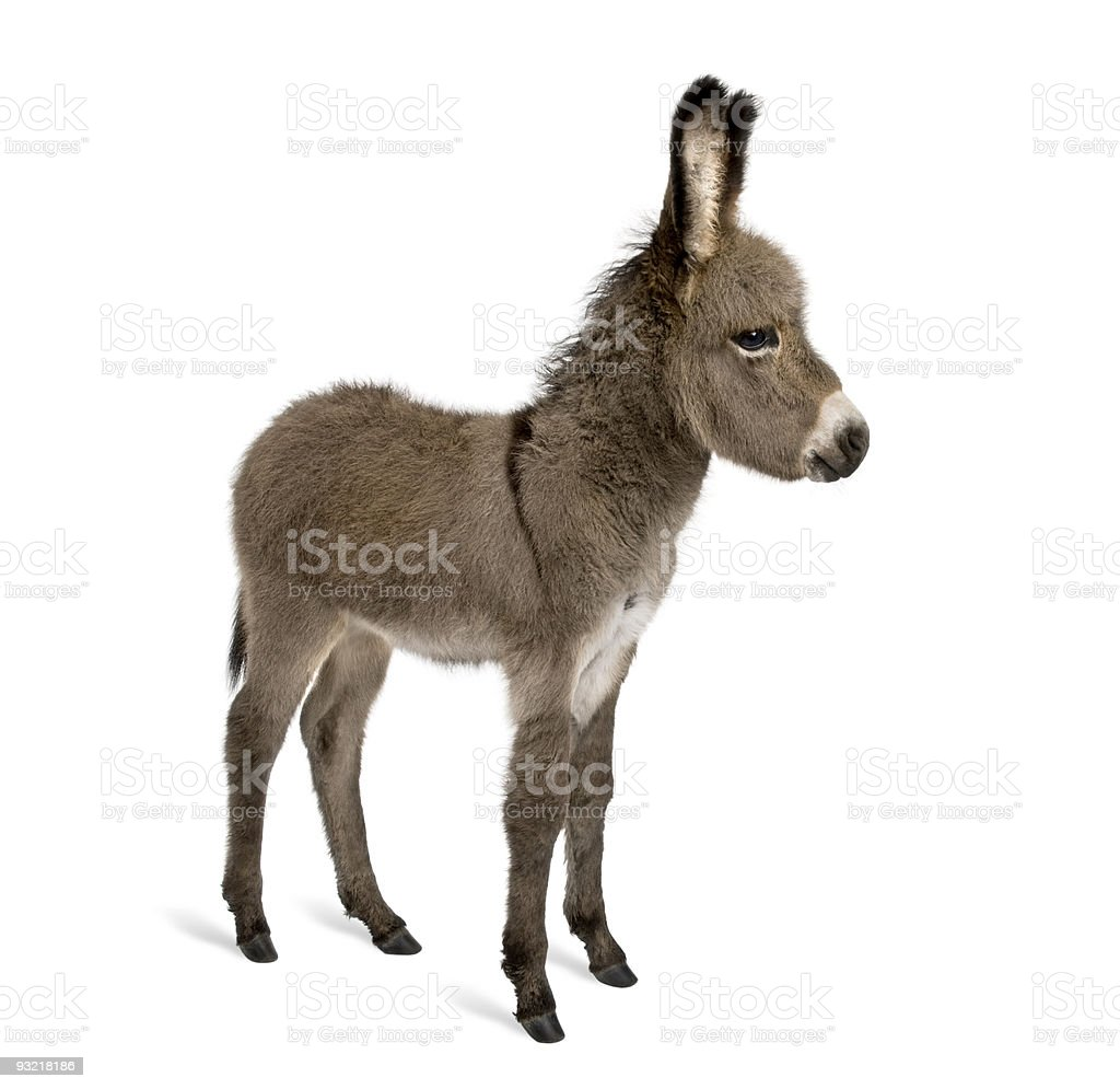 Side view of donkey foal standing against white background stock photo