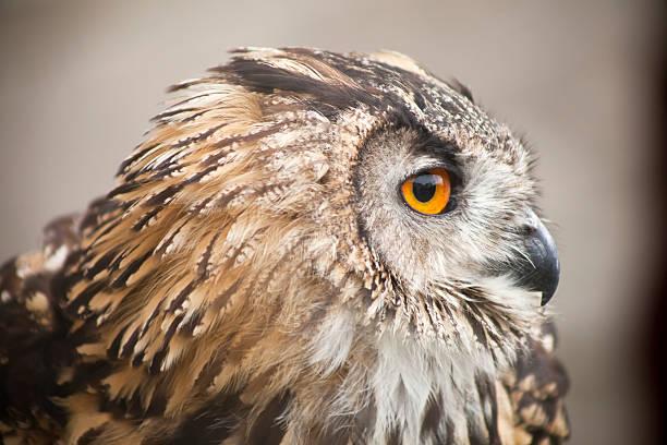 Side view of eagle owl close up picture id637605408?b=1&k=6&m=637605408&s=612x612&w=0&h=v9f2moxv0t8ezzqtvycbyxsudidknhnd5wt9zlej5hw=