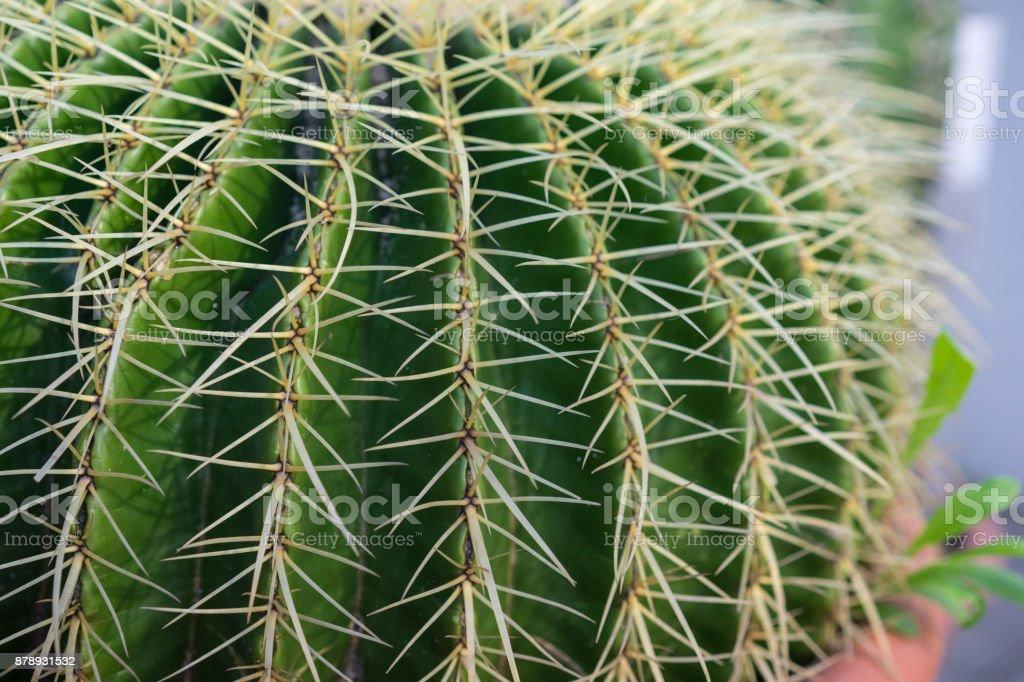 vista lateral de la macro de cactus echinocactus grusonii - foto de stock