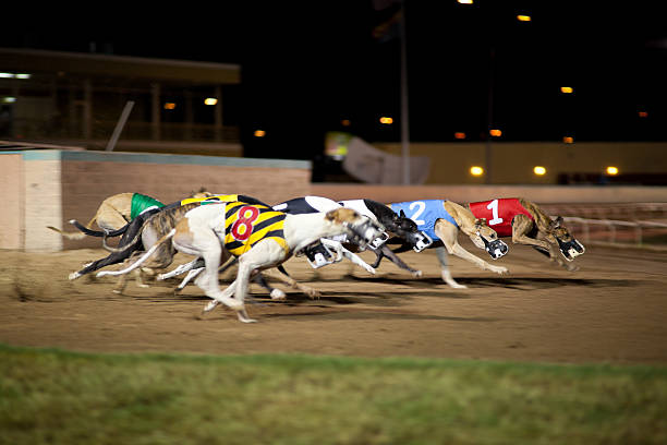 Side view of eight greyhounds racing at night