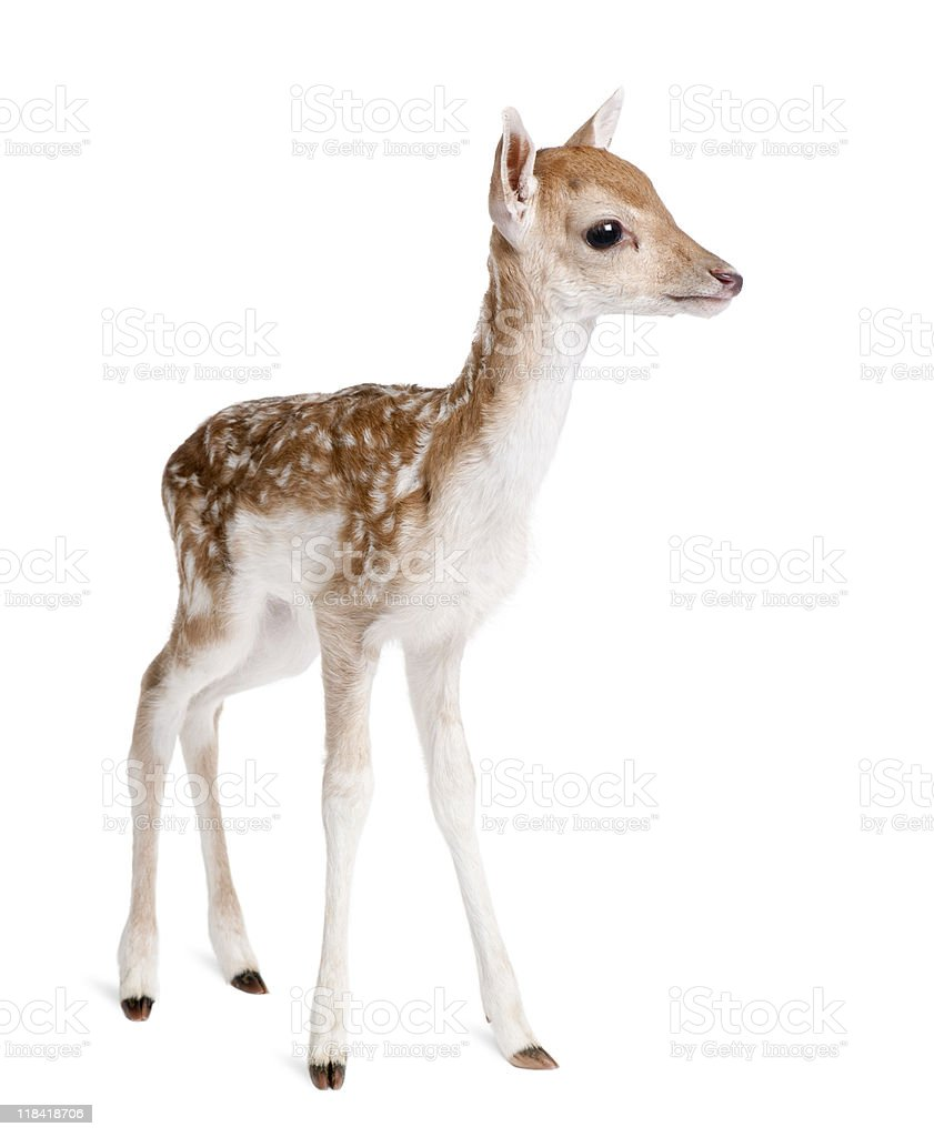 Side view of Fallow Deer Fawn against white background stock photo