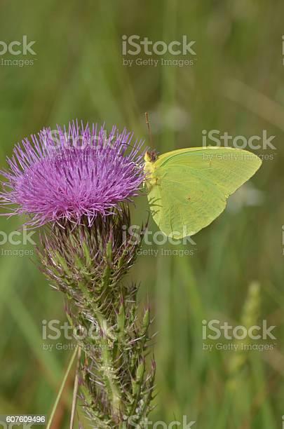 Side view of feeding cloudless suphur butterfly on purple flower picture id607609496?b=1&k=6&m=607609496&s=612x612&h=yibbwdwnigemaesnrnfrku5mvtxvk1lot2ezlpbgup8=