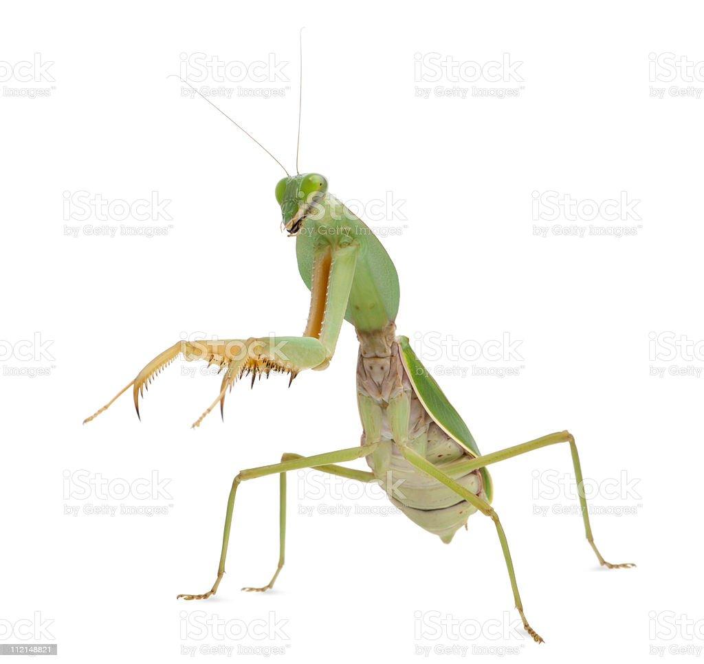 Side view of Female Praying Mantis, Rhombodera Basalis, white background. stock photo
