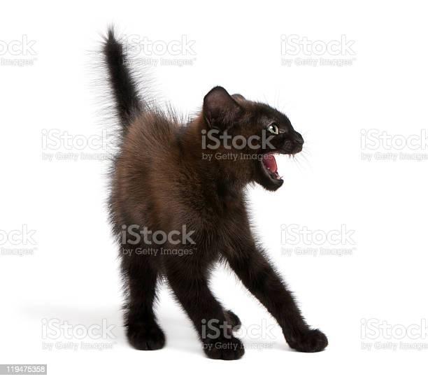 Side view of frightened black kitten standing picture id119475358?b=1&k=6&m=119475358&s=612x612&h=kivk554kvuhdiicn6bfukjn4jslqblme9dzh ph yyq=