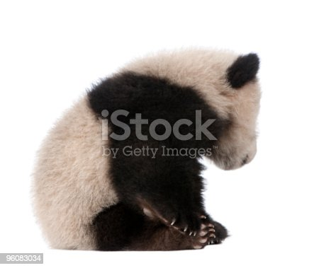istock Side View of Giant Panda sitting and looking down 96083034
