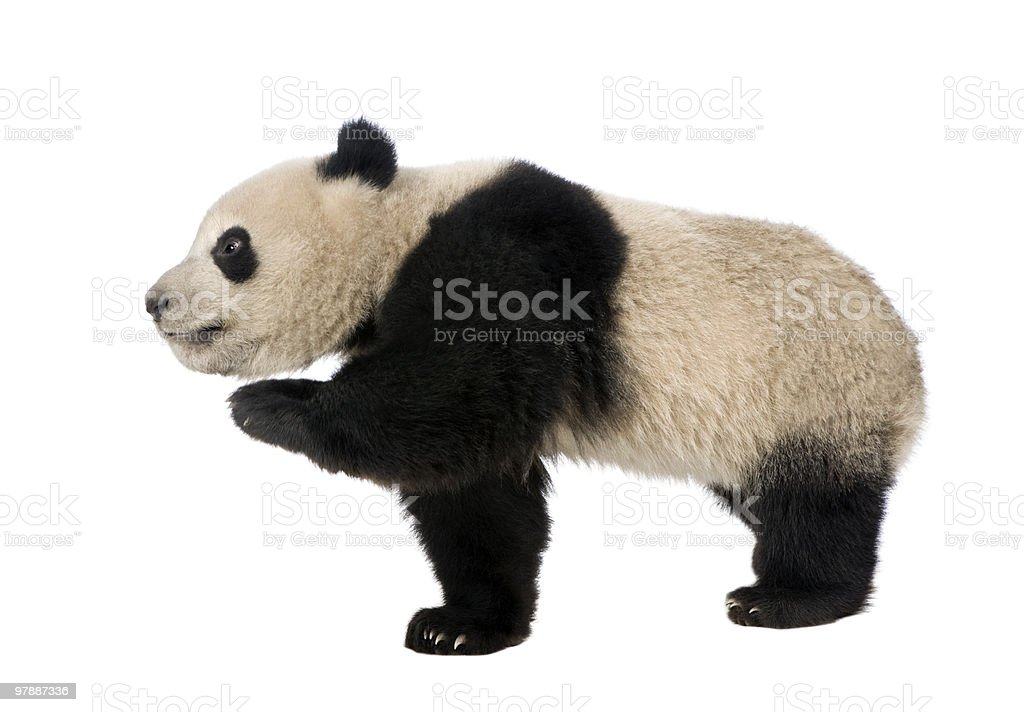 Side view of Giant Panda walking and looking away stock photo