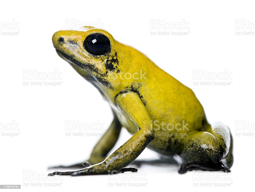 side view of golden poison frog against white background stock photo