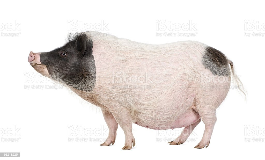 Side view of Gottingen minipig standing against white background, stock photo