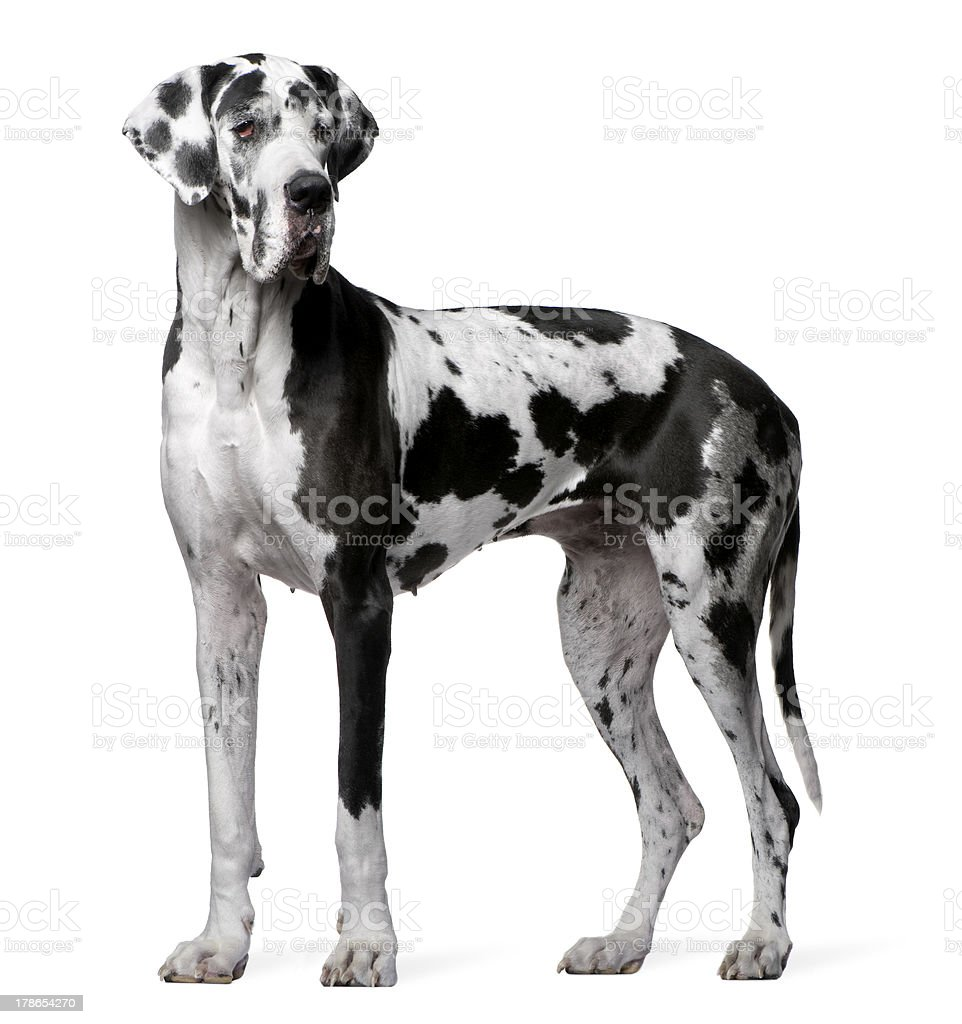 Side view of Great Dane Harlequin, 4 years old, standing. stock photo