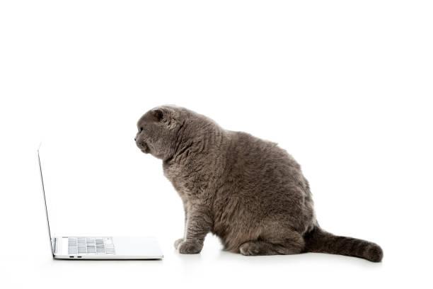 Side view of grey british shorthair cat sitting near laptop isolated picture id1041482410?b=1&k=6&m=1041482410&s=612x612&w=0&h=pfinw3teliynw6gi8d3ys2he830xezcdz atx9rlqko=