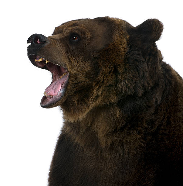Side view of Grizzly bear, 10 years old, growling. stock photo