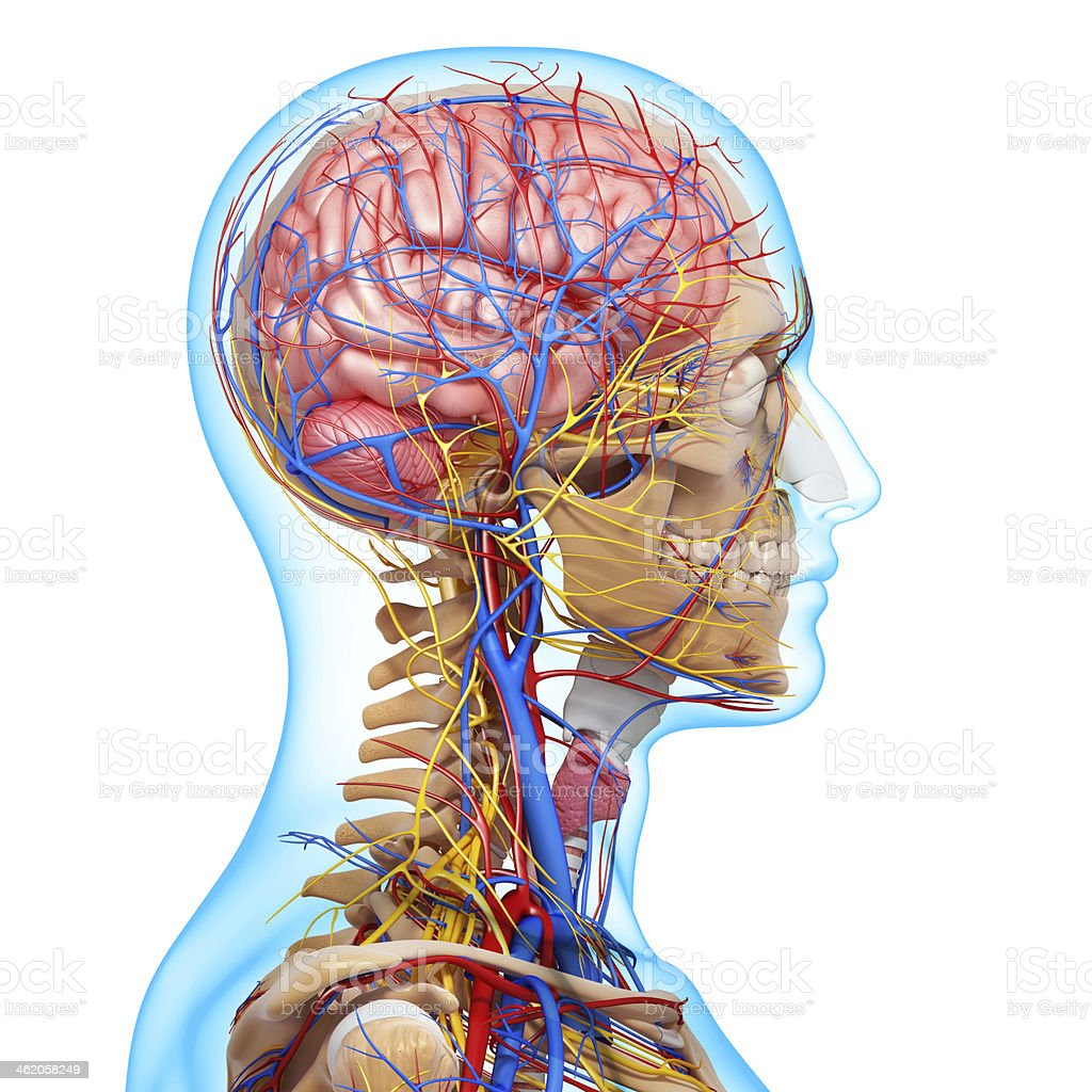 side view of head circulatory system and nervous stock photo
