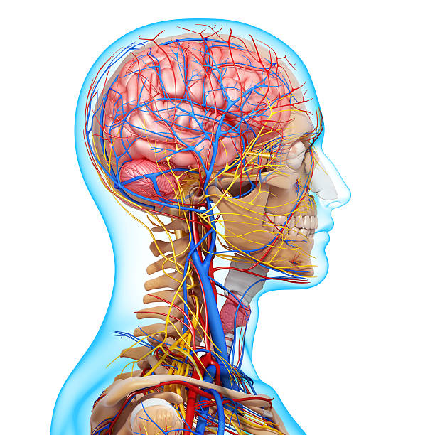 side view of head circulatory system and nervous side view of head circulatory system and nervous physiology stock pictures, royalty-free photos & images